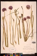 ALA 21054: <i>Allium schoenoprasum</i> L.