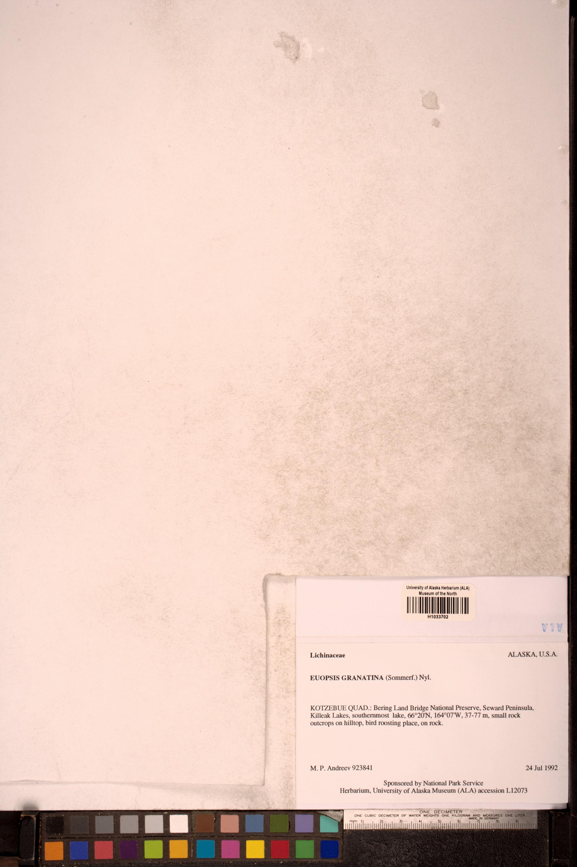 Euopsis granatina image