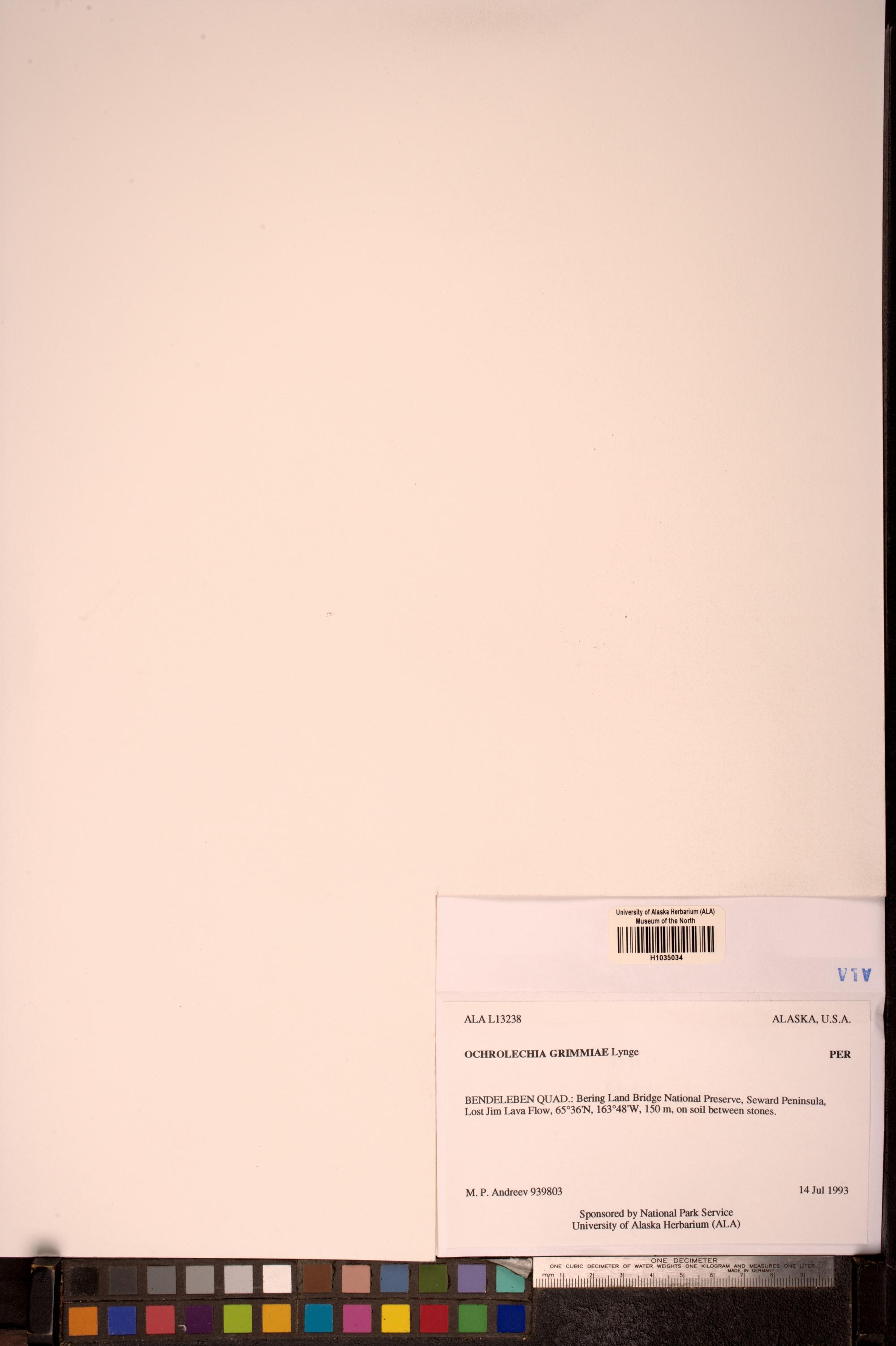 Ochrolechia grimmiae image