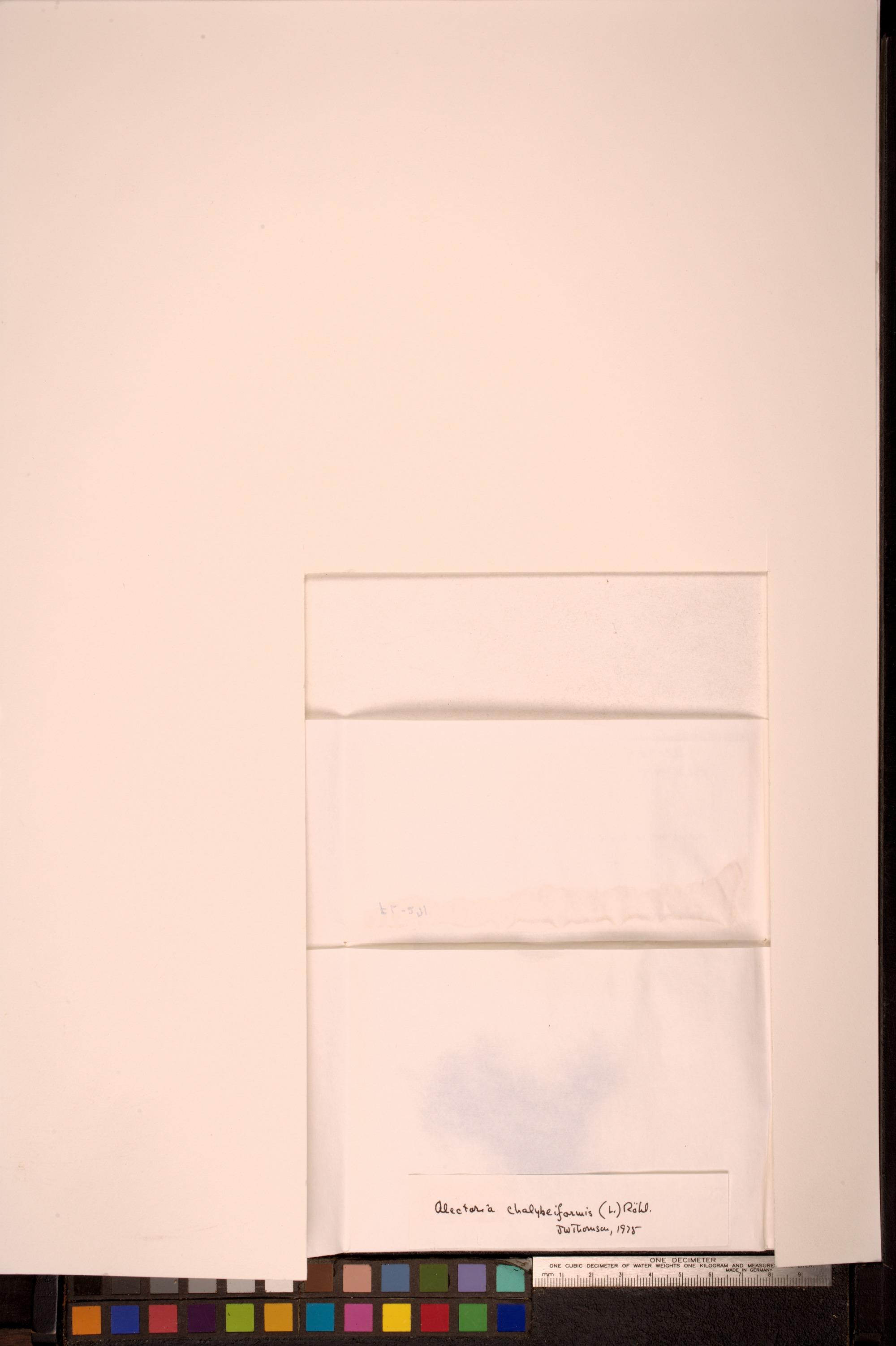 Nodobryoria subdivergens image