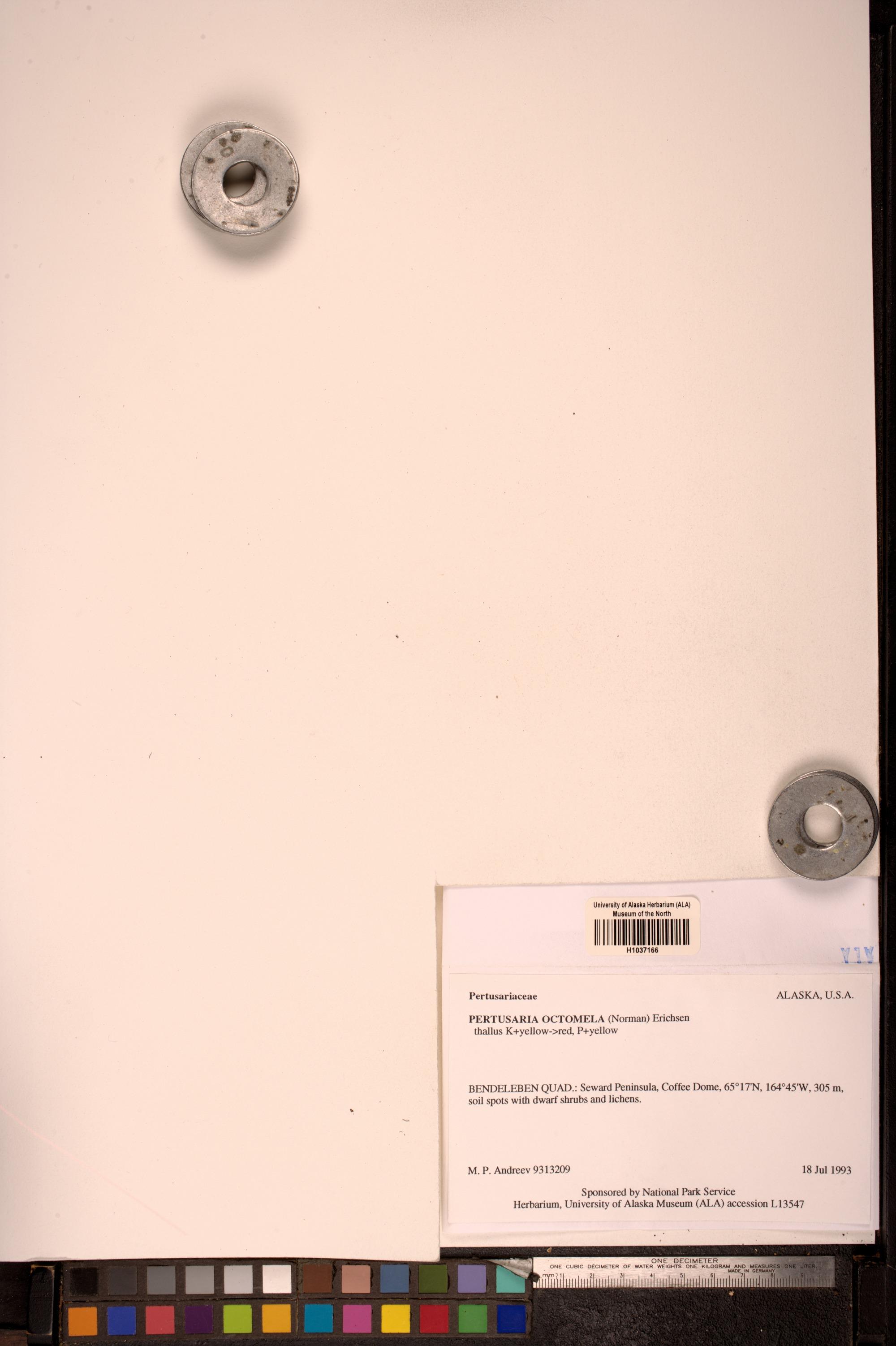 Pertusaria octomela image