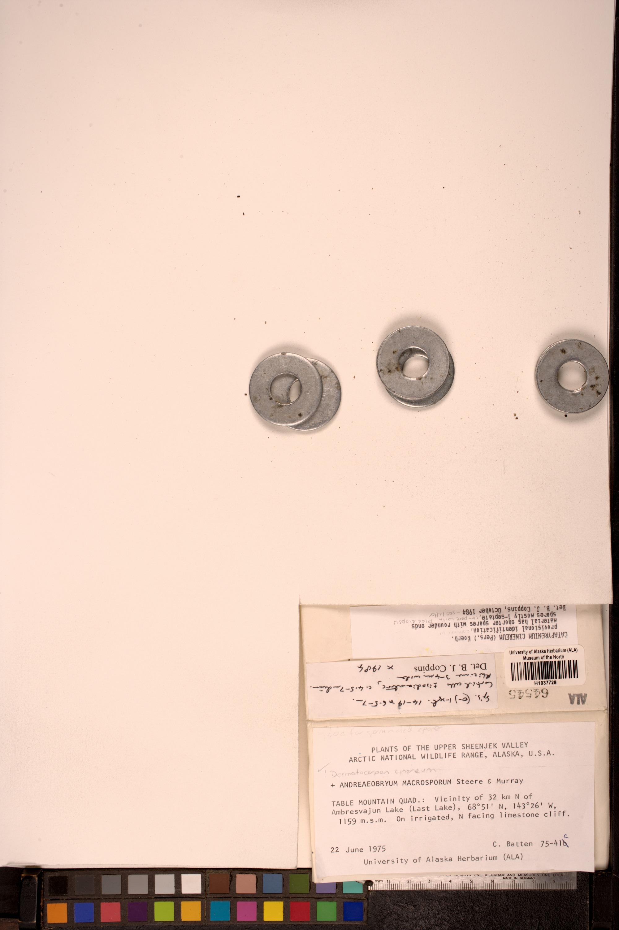 Placidiopsis pseudocinerea image