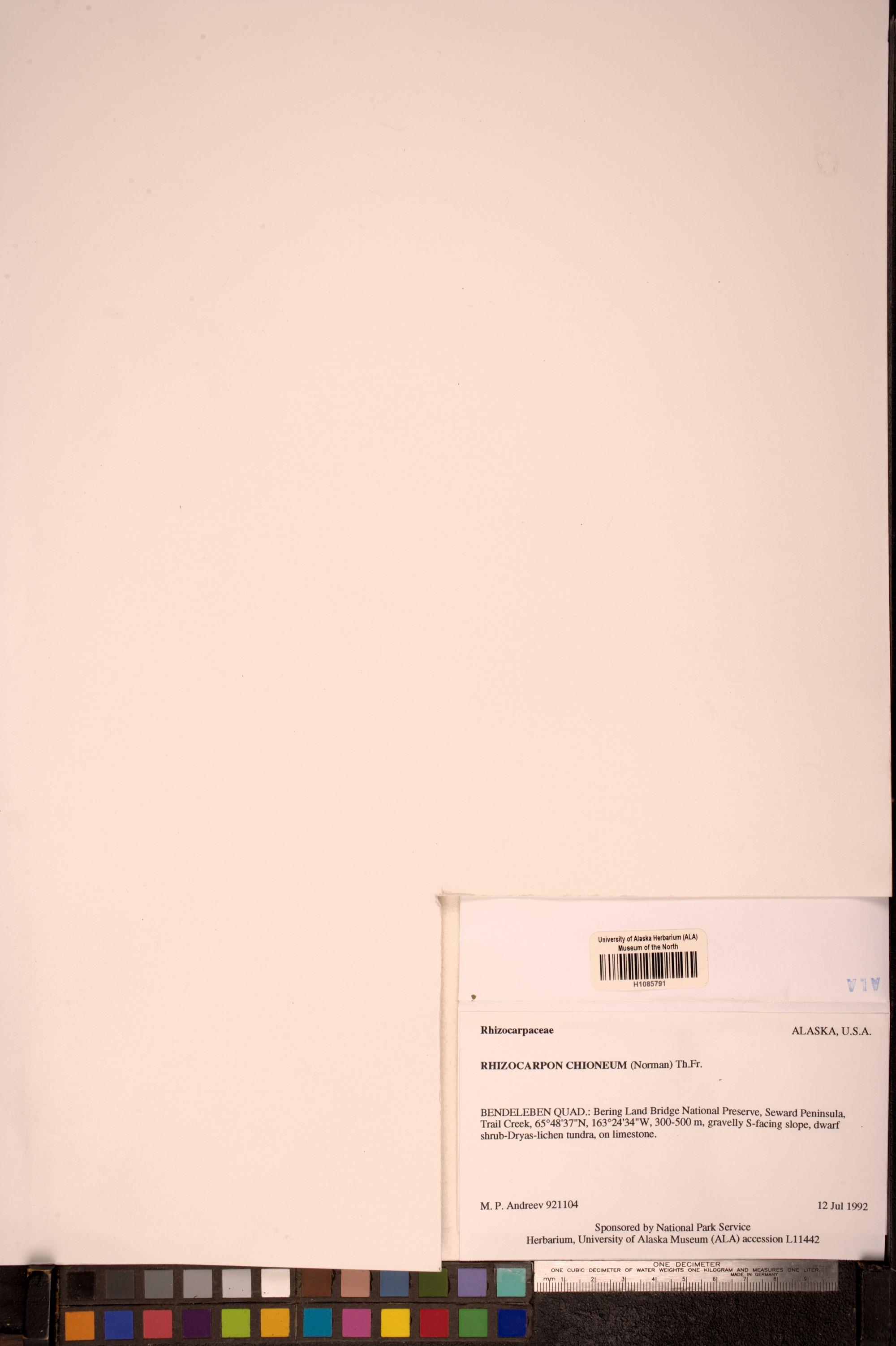 Rhizocarpon chioneum image