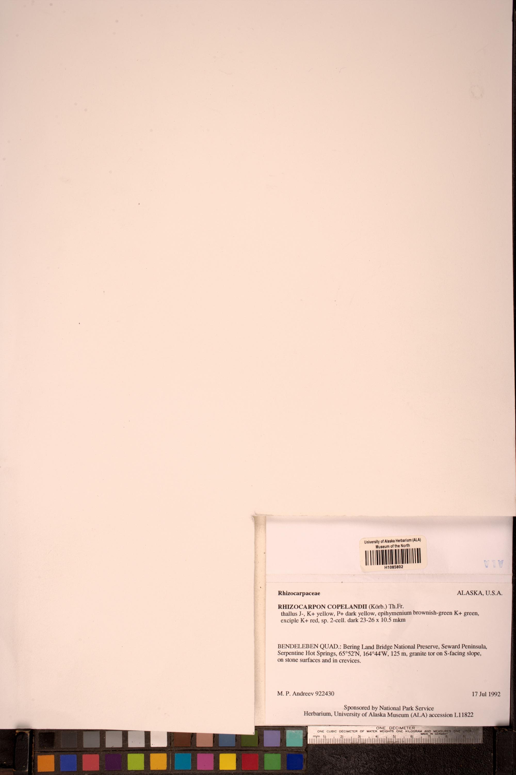 Rhizocarpon copelandii image