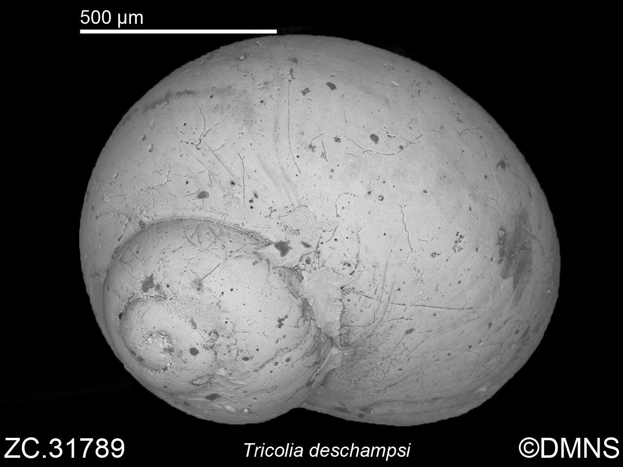 Tricolia deschampsi image