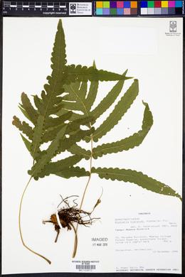 Image of Blotiella hieronymi