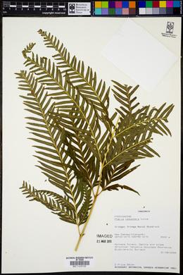 Pteris catoptera image