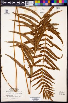 Image of Thelypteris gongylodes