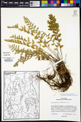 Myriopteris tomentosa image