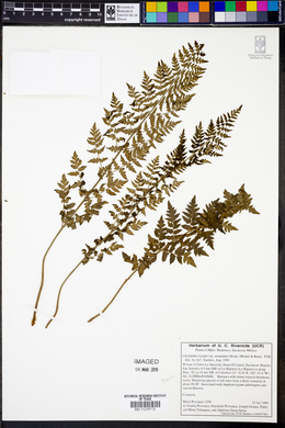 Cheilanthes lozanii image