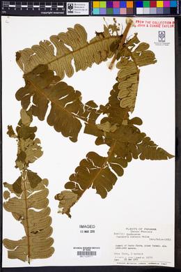 Cyathea cocleana image