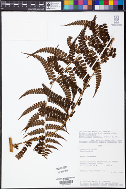 Image of Dennstaedtia mathewsii