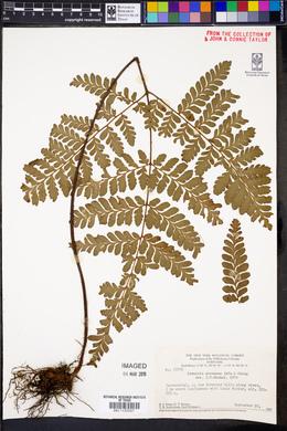 Triplophyllum protensum image