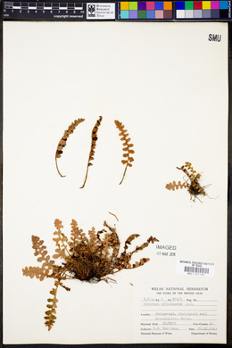Asplenium ceterach subsp. ceterach image