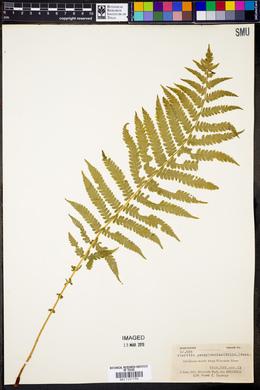 Pteretis pensylvanica image