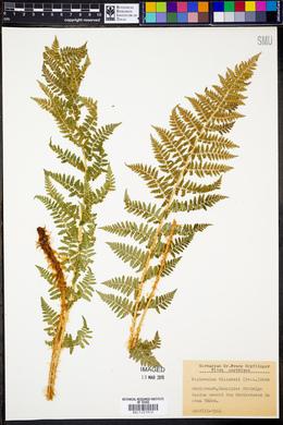 Dryopteris villarii image