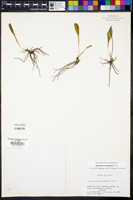 Ophioglossum polyphyllum image