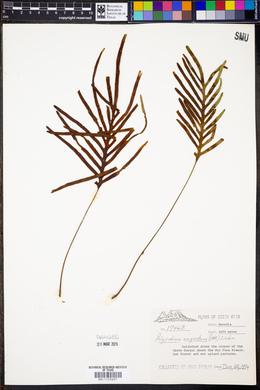 Polypodium angustum image