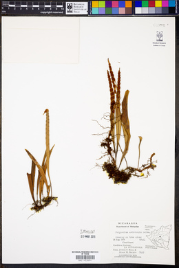Polypodium astrolepis image