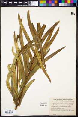 Polypodium brasiliense image