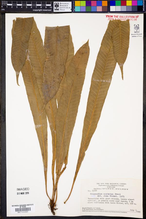 Polypodium costatum image
