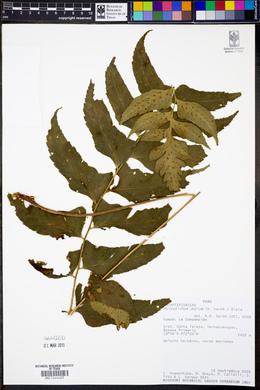 Image of Polystichum dubium