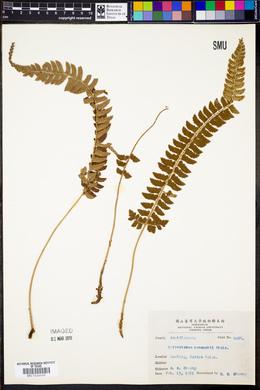 Polystichum hancockii image
