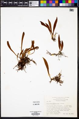 Polypodium dictyopteris image