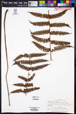 Steiropteris leprieurii image