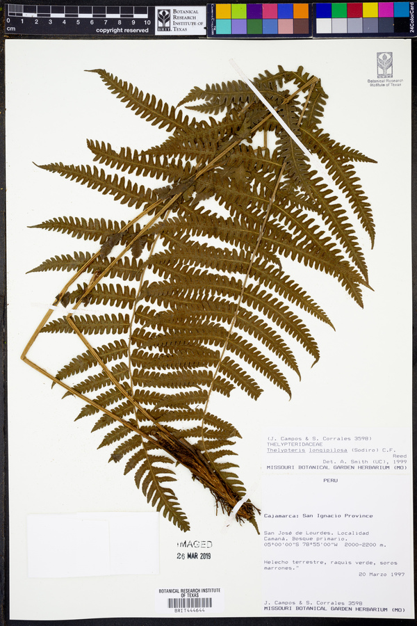 Amauropelta longipilosa image