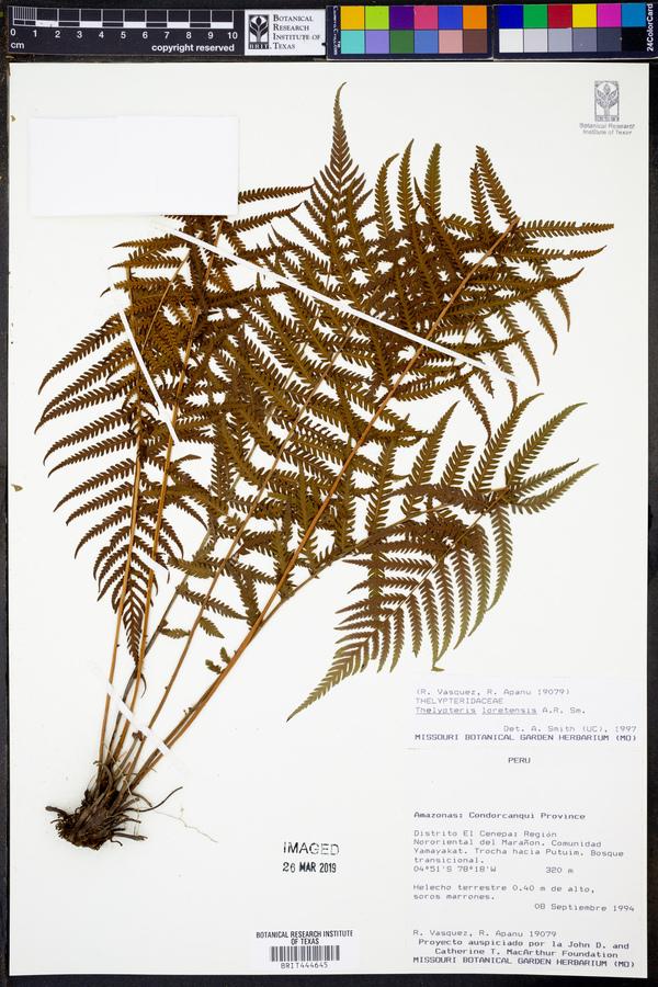 Amauropelta loretensis image