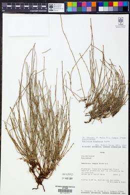 Equisetum bogotense image