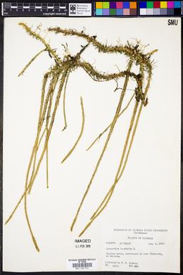 Lycopodium inundatum image
