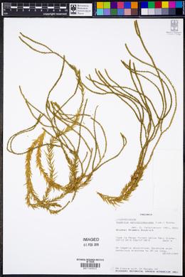 Image of Huperzia ophioglossoides