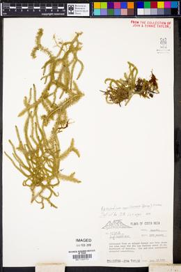 Image of Lycopodium capillaceum