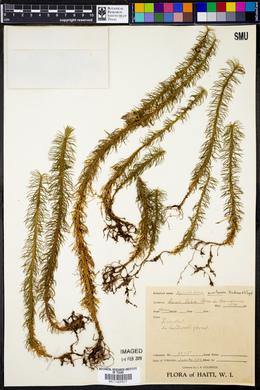 Image of Lycopodium montanum