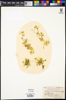 Image of Selaginella concinna
