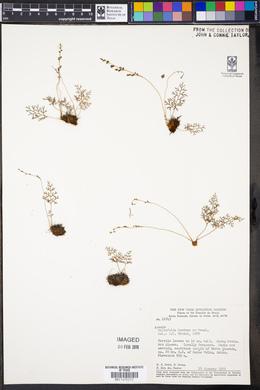 Image of Anemia millefolia