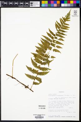 Arthropteris monocarpa image