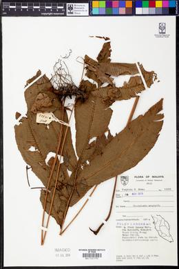 Image of Abacopteris urophylla