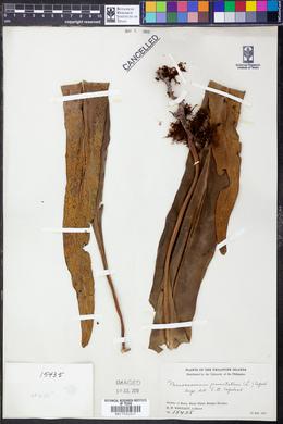 Microsorum punctatum image