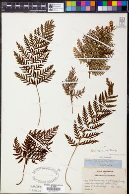 Vandenboschia radicans image