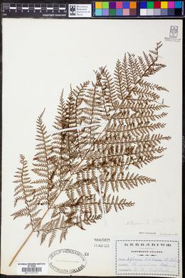 Image of Athyrium baldwinii