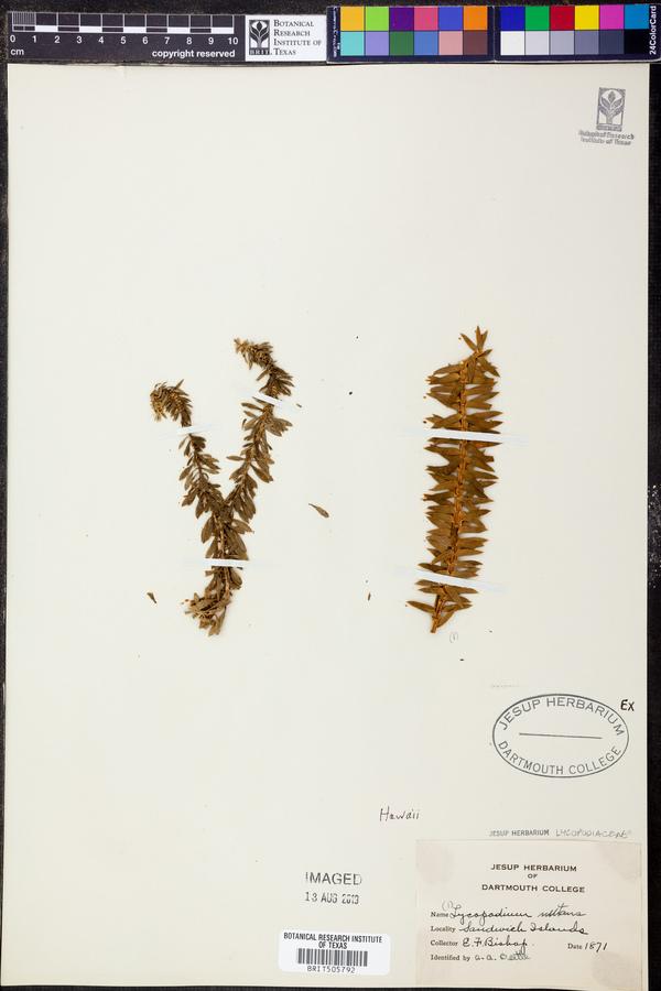 Lycopodium nutans image