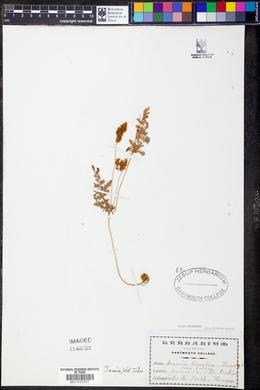 Anemia tomentosa image