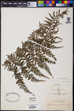 Pityrogramma calomelanos image