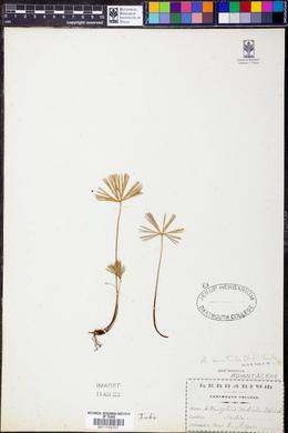 Image of Actiniopteris australis