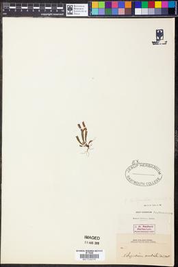 Polypodium australe image