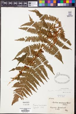 Oreopteris limbosperma image