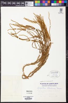 Image of Lycopodium tubulosum